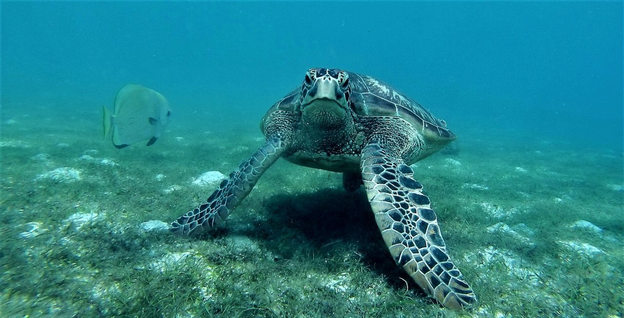 underwater, animals in the wild, animal themes, undersea, sea life, animal wildlife, water, swimming, reptile, one animal, nature, no people, sea, sea turtle, day, beauty in nature, outdoors