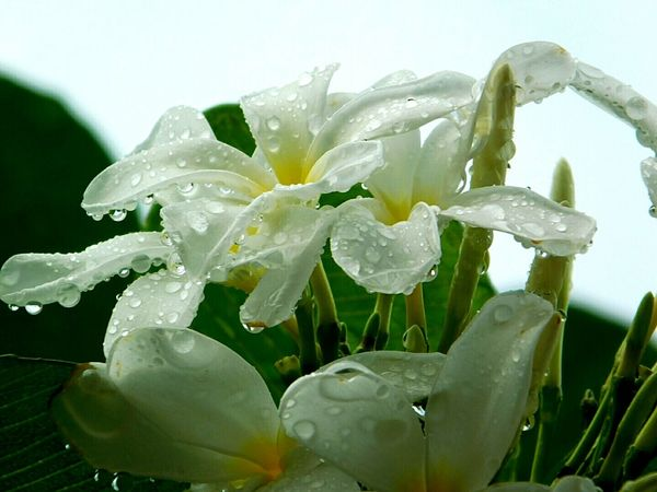 Flower Close-up Freshness Leaf No People Nature Day Beauty Beauty In Nature Water Rain Macro Fragility Drop In The Rain Frangipani Frangipani Flower White Flower White Frangipani