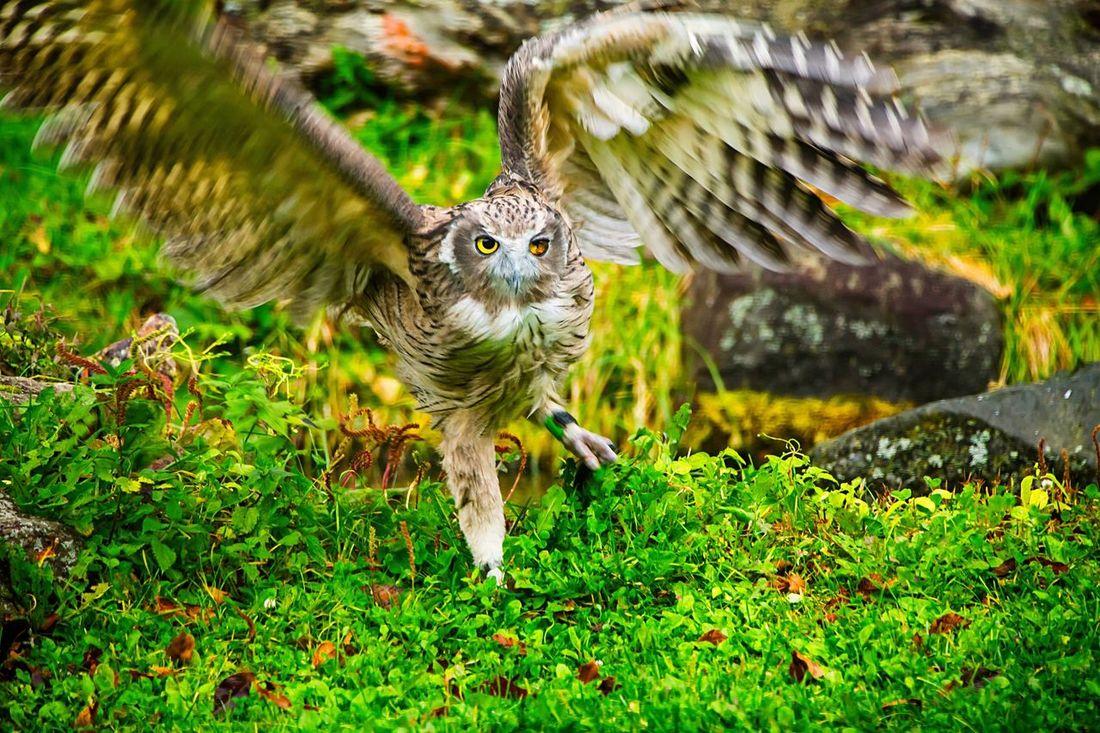 Owl Flapping Owl National Endamaged Spices Hunting Youroushi Nakashibetsu Hokkaido Japan Canon5Dmk3