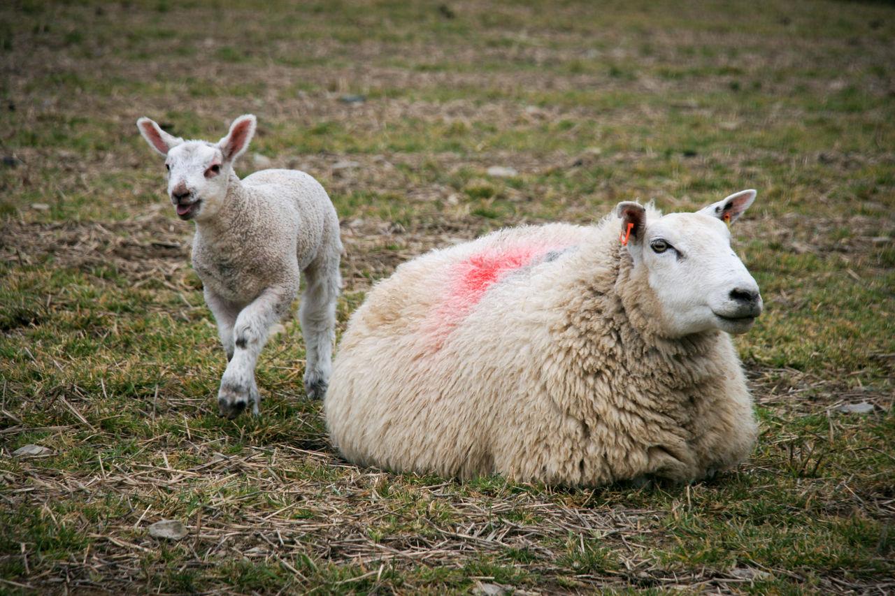 Lamb and ewe Ewe Lamb Sheep Spring Springtime Animals