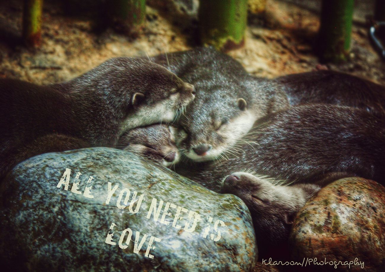 All you need is love. Animals In The Wild Animal Themes Mammal Animal Wildlife Relaxation No People Outdoors Nature Day Otter Otters Sleeping Cuddle Cuddling Rock Allyouneedislove Colorado Denver Zoo Eyeemphotography EyeEmNewHere Family Love Terrifying Creatures Cute