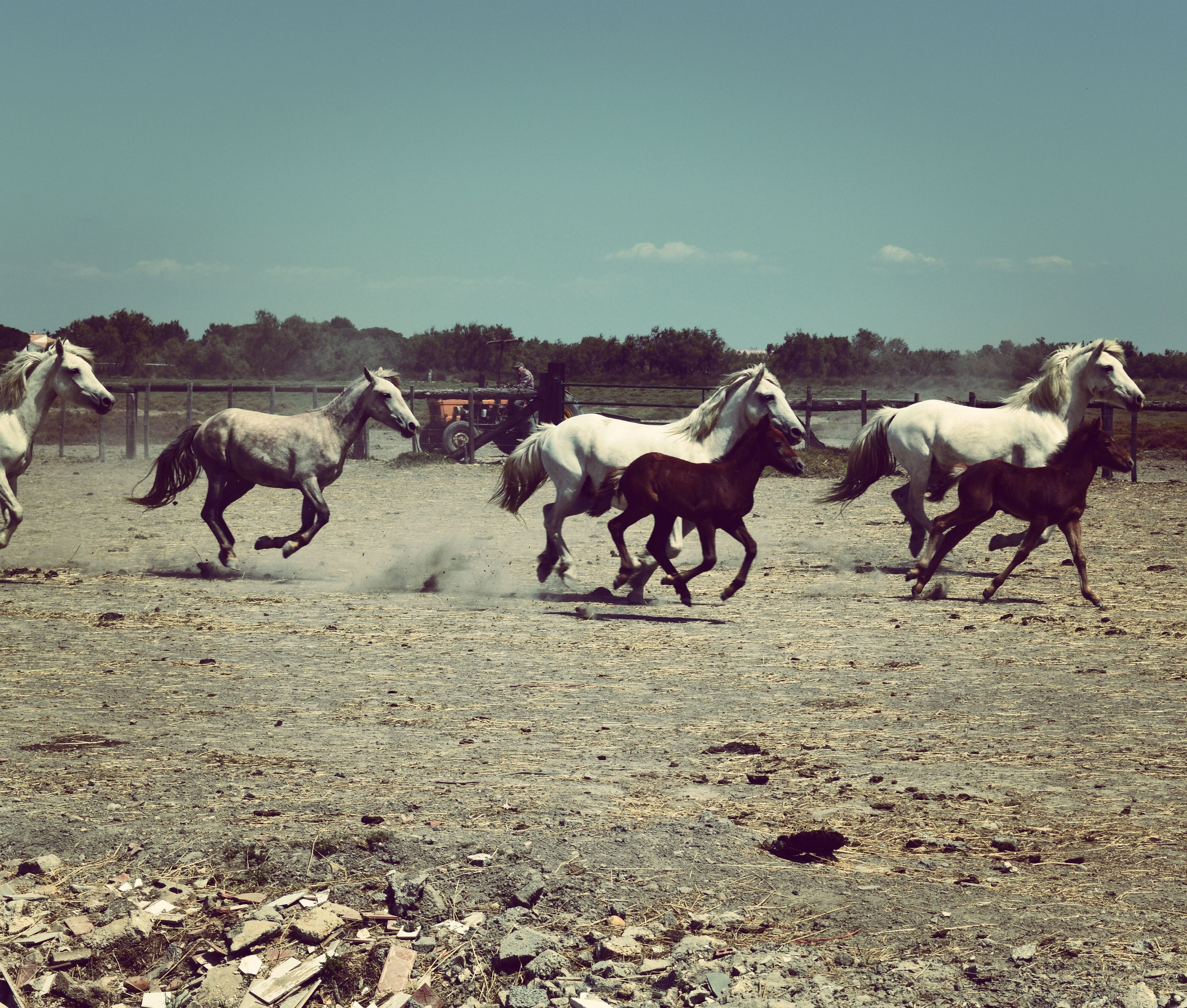 animal themes, domestic animals, mammal, livestock, landscape, sand, field, clear sky, medium group of animals, horse, nature, beach, day, standing, working animal, sky, sunlight, zoology, herbivorous