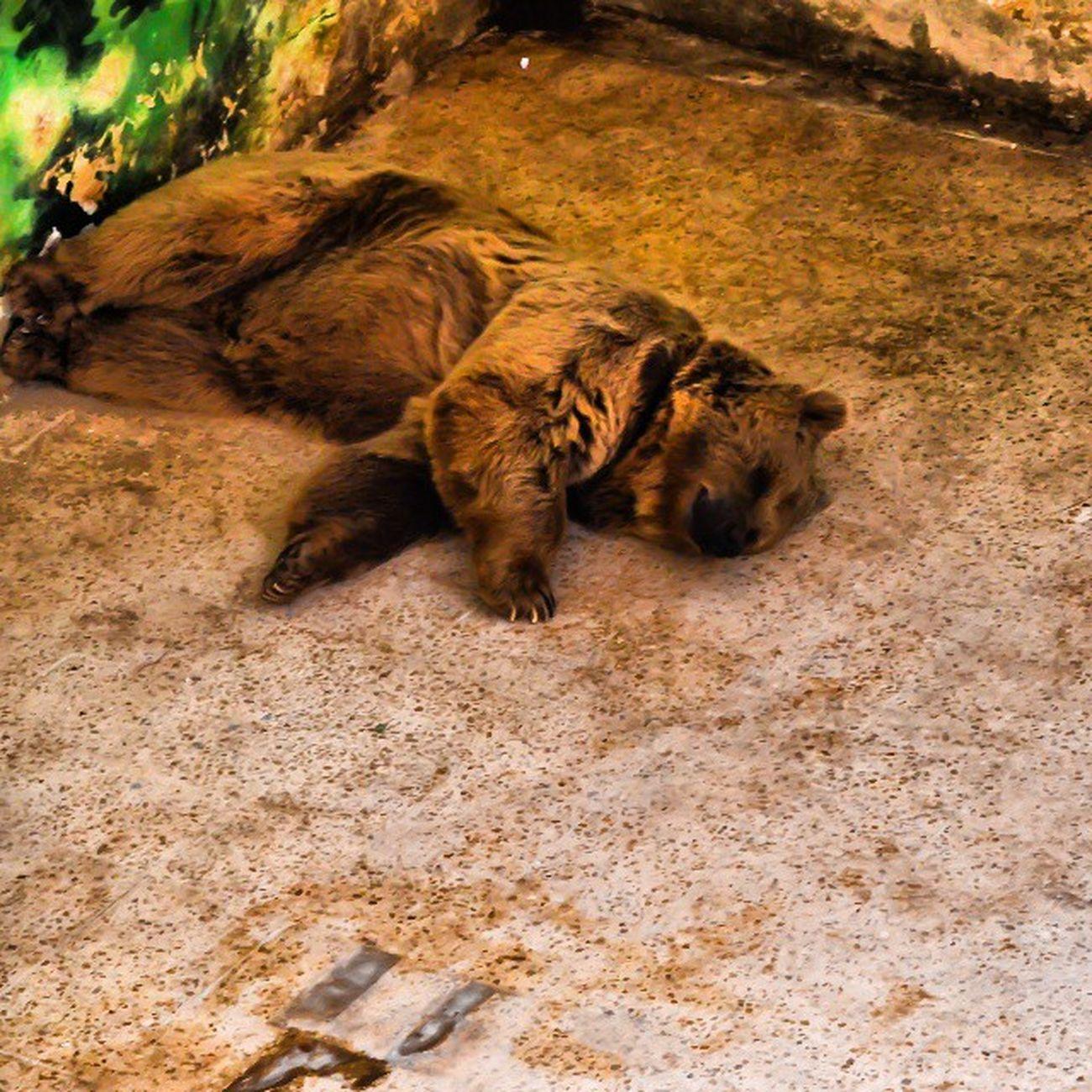 Sleeping Bear Brownbear Animalgarden animal