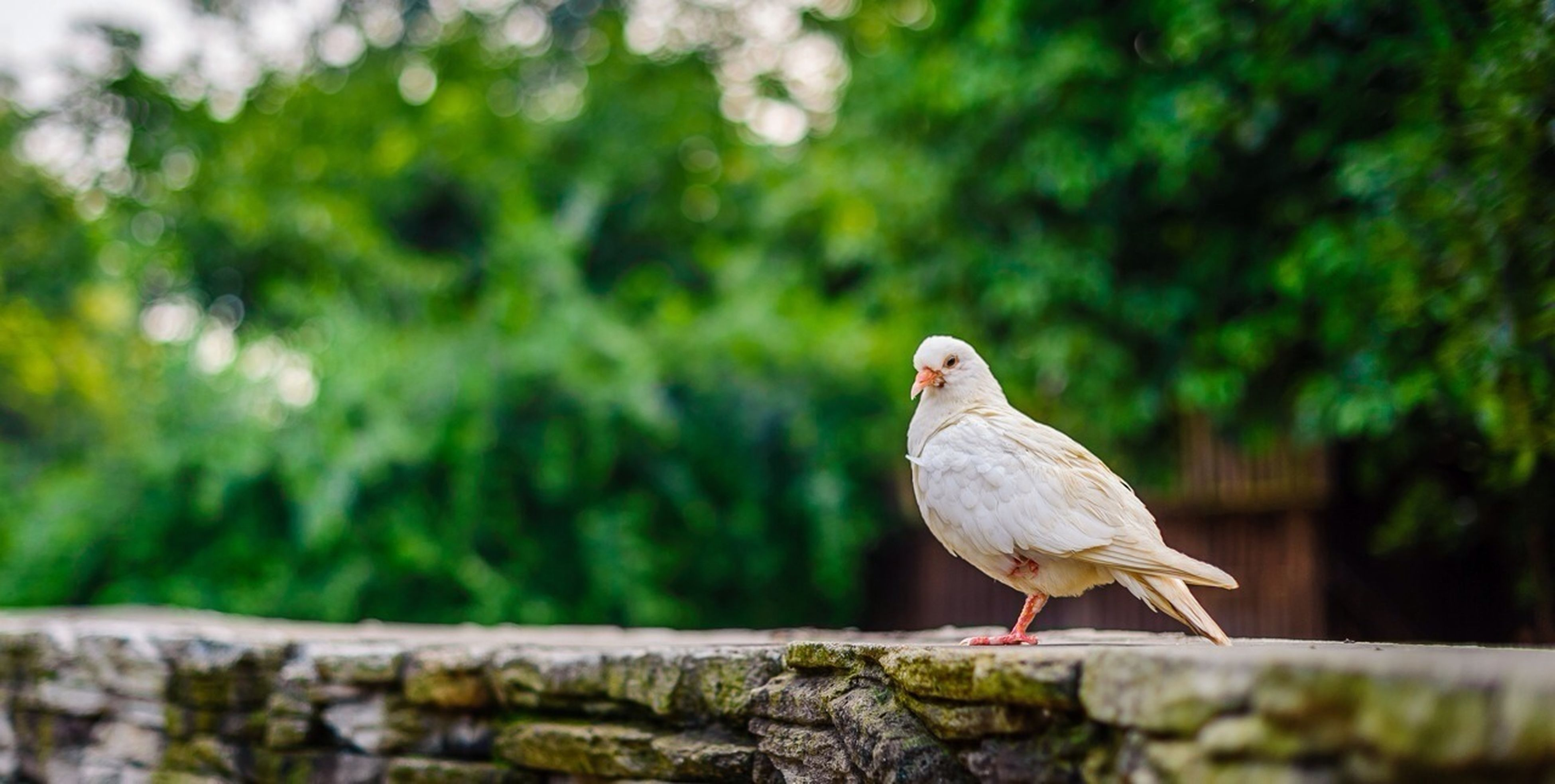 bird, animal themes, animals in the wild, perching, wildlife, one animal, focus on foreground, full length, pigeon, close-up, nature, selective focus, outdoors, day, side view, beak, no people, zoology, two animals, railing