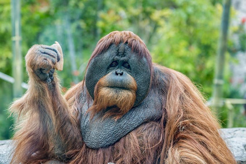 Orangutan (ape) eating fruits Ape Borneo Endangered Species INDONESIA Pongo Sumatra  Zoo Animal Themes Animals In The Wild Brown Close-up Expression Face Fur Jungle Mammal Monkey No People Orang-utang Orangutang Orangutans Outdoors P. Abelii P. Pygmaeus Rainforest
