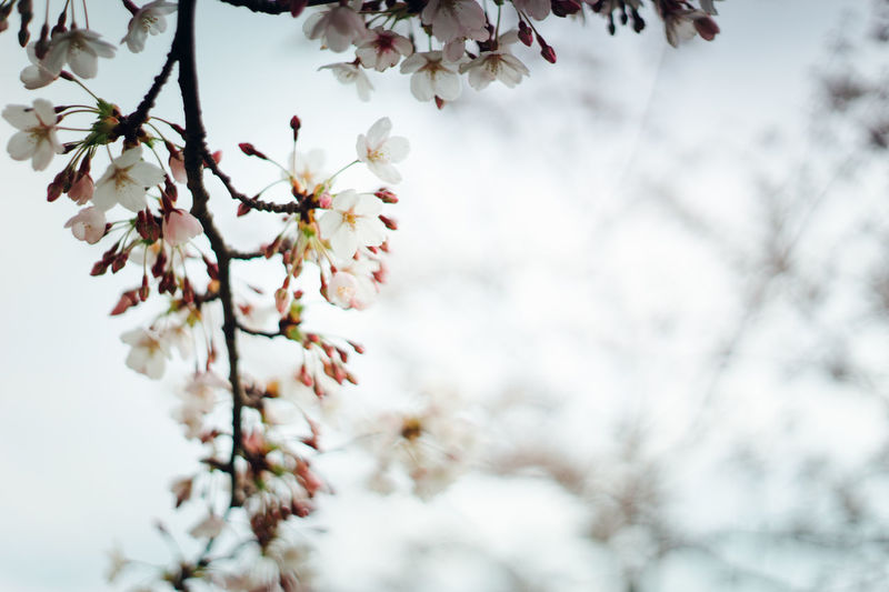 Blossom Branch Cherry Tree Flower Growth In Bloom Petal Sakura Sakura2016 Spring Coming Soon Springtime Tree Twig