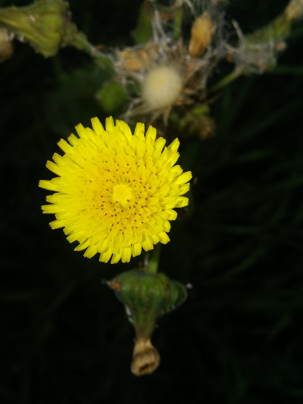 Yellow Flower Flower Head Fragility Nature Beauty In Nature Petal Freshness Sunflower Outdoors Plant Blossom Daisy Pollen Springtime Close-up No People Agriculture Day