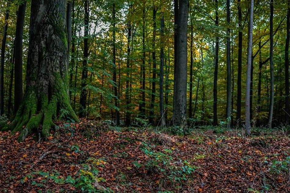 Autumn Forrest 2015 Series 1 The wide view into the forrest. (Canon EOS 750D) Ic_urbex Tv_urbex Urbex Moodygrams Ic_mood Camera Cam Canon EOS Eos750d Germany Forrest Autumn 2015  Tree Ic_landscapes Ic_nature Ic_tree Ic_trees Leaves Falling Fallingleaves Green