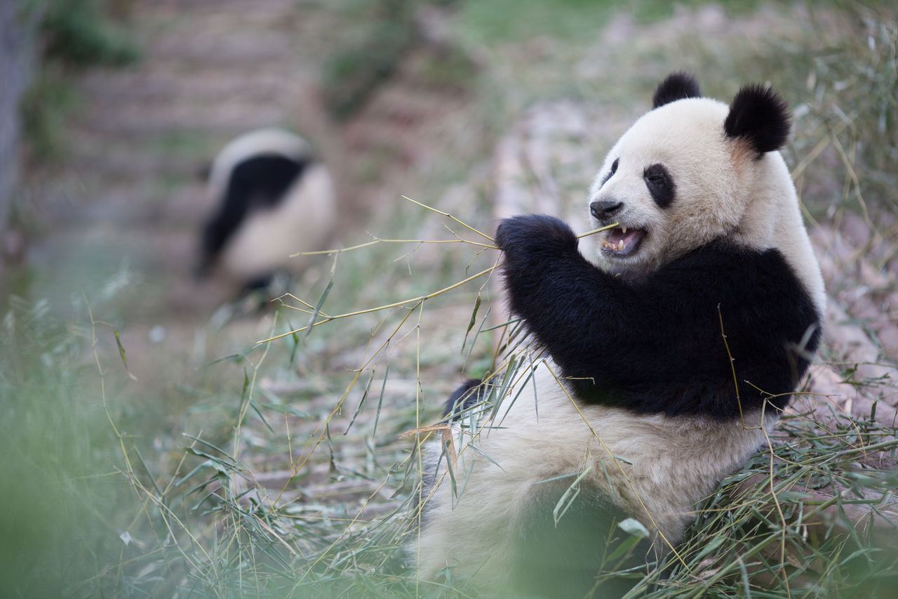 Beautiful stock photos of bear, Animal Behavior, Animal Themes, Animals In The Wild, Bamboo - Plant