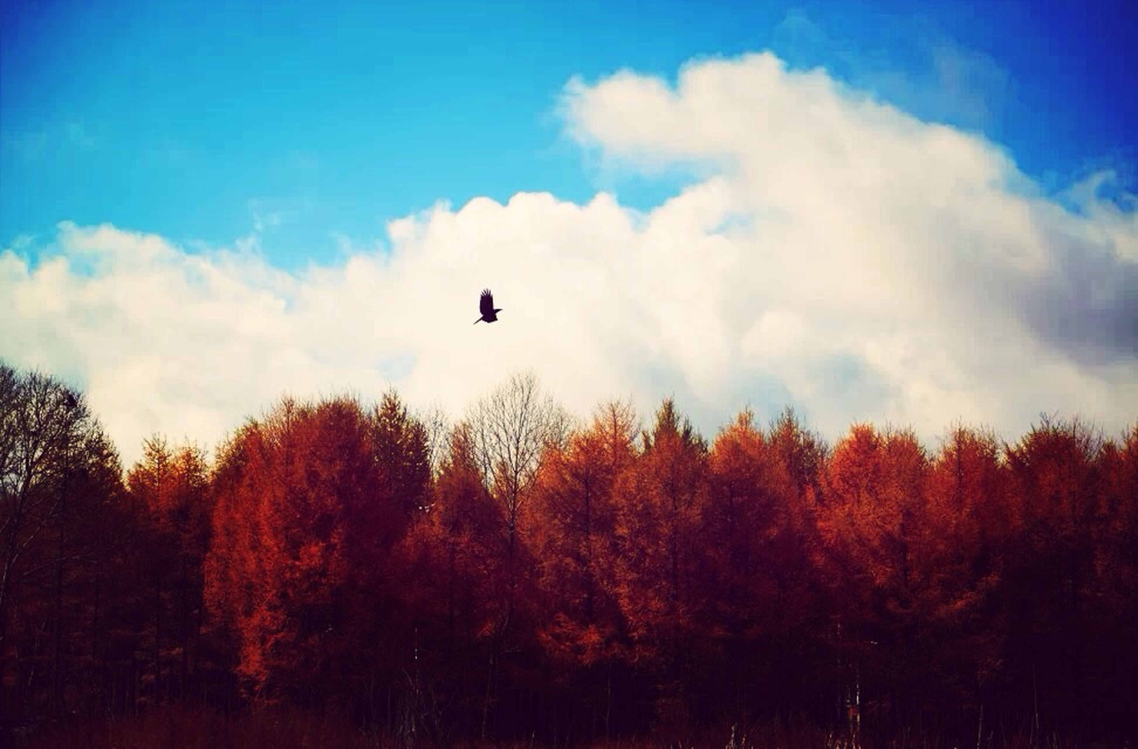 flying, tree, sky, bird, low angle view, mid-air, silhouette, animal themes, cloud - sky, nature, one animal, animals in the wild, beauty in nature, wildlife, tranquility, scenics, cloud, tranquil scene, sunset, outdoors