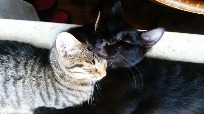 Cat SnuggleBuddies Pets Domestic Animals Domestic Cat Indoors  Close-up Feline Animal Head  Resting Togetherness Animal Nose No People A Bird's Eye View