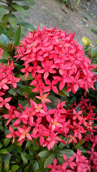 Ixora Growth Red Nature Flower Freshness Plant Beauty In Nature Fragility Petal Blooming Day Flower Head Close-up Outdoors No People Rhododendron