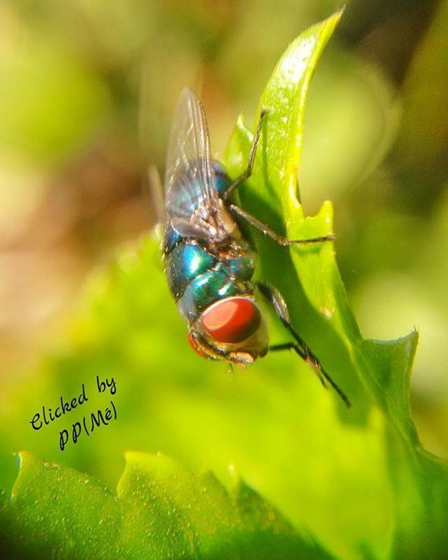 Insect Fly Insect_shot📷📷 Moto_g2_click wid Macrolens Macro Shot Macro Picoftheday Photooftheday Tagsforlikes Tagsforfollow Like4follow Likeforlike L4l L4f Ig_addicts Ig_best