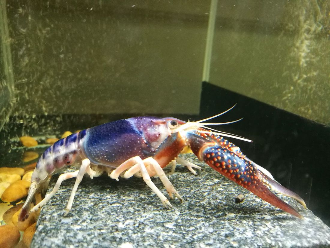 One Animal Animal Wildlife Water Close-up Nature Animal Themes Crayfish Crawfish Aquarium Colourful Nature Chrimp