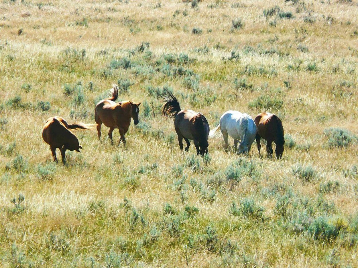 Wild Horses Running Free No Saddle Freedom