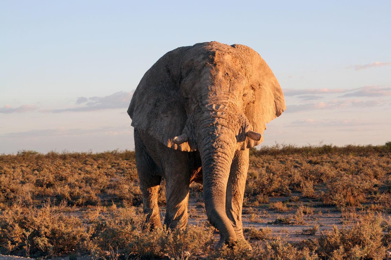Beautiful stock photos of elefant,  African Elephant,  Animal Themes,  Animal Trunk,  Animal Wildlife