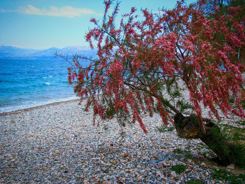 Tamarisk Tree Beach Beach Photography Nature Water Beauty In Nature Seascape Landscape Landscapes Pebble Beach Pebbles Blooming Blossom Red Blossom Red Backgrounds Art Is Everywhere TCPM Wind Windy Day