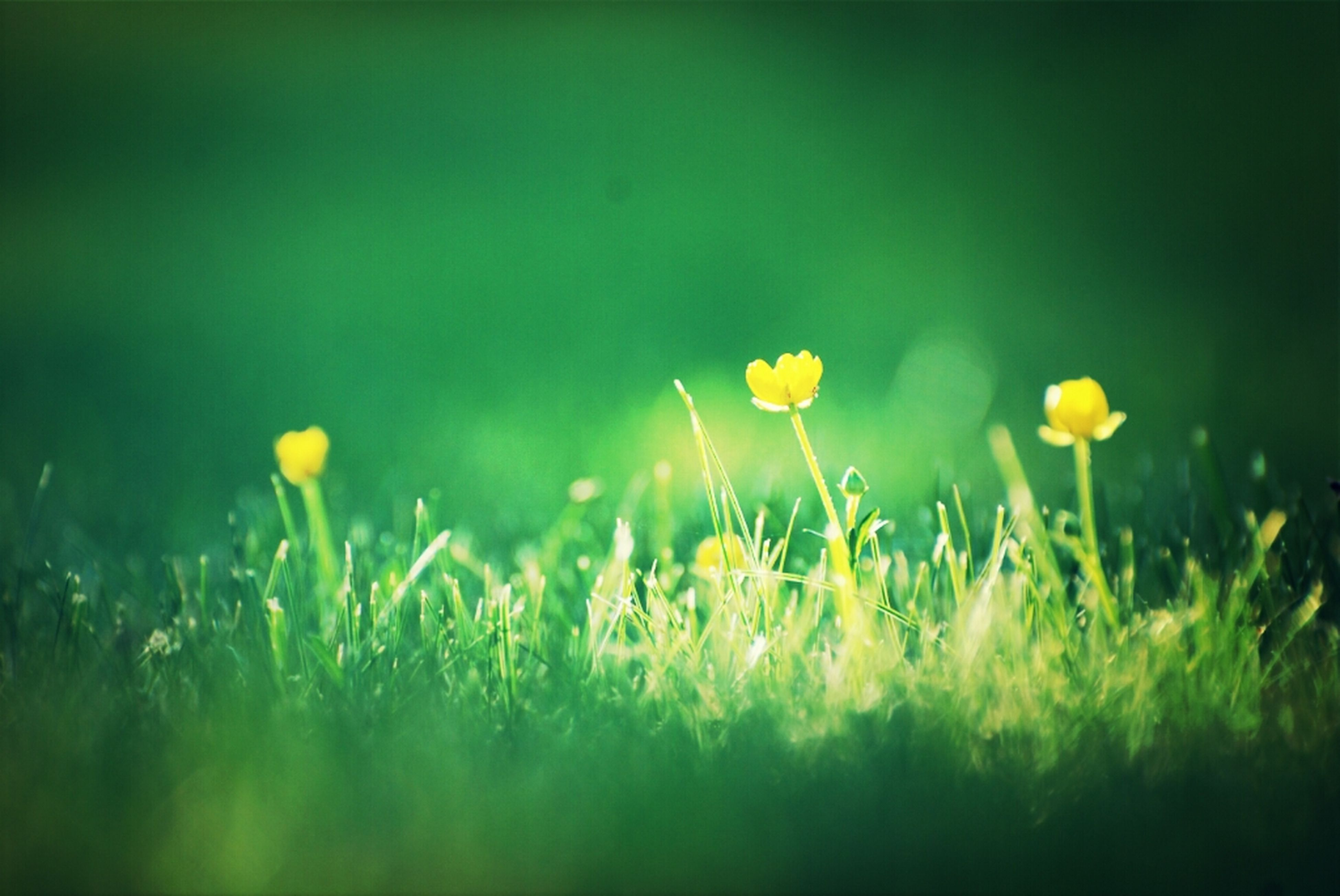 growth, flower, field, grass, freshness, beauty in nature, nature, fragility, plant, selective focus, yellow, green color, close-up, stem, focus on foreground, wildflower, dandelion, outdoors, tranquility, growing