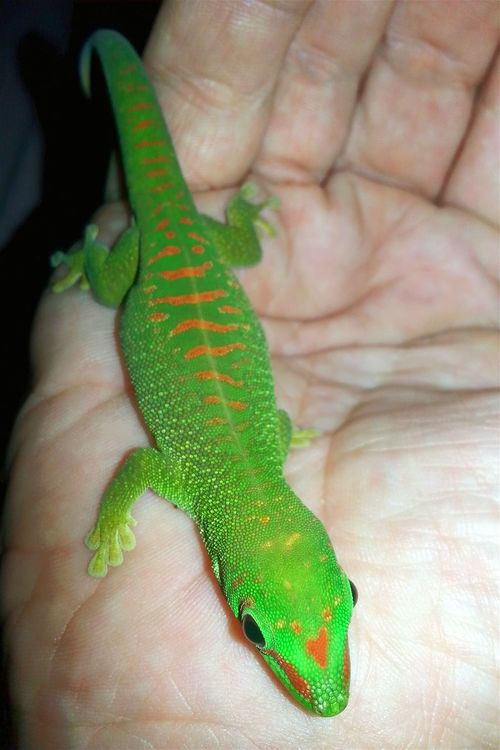 Grandis, young. One Animal Jurassic World Gecko Love Exotic Madagascar Gecko GECKOzilla Exotic Creatures Exotic Animals Madagascar  Gecko Art God's Beauty Jurassic World Of Dino's Dino's Photography Madagascar  Young Madagascar Nature Green Color Green Green Animal Real Life Reptile Special_shots Animal Themes Nature Indoors