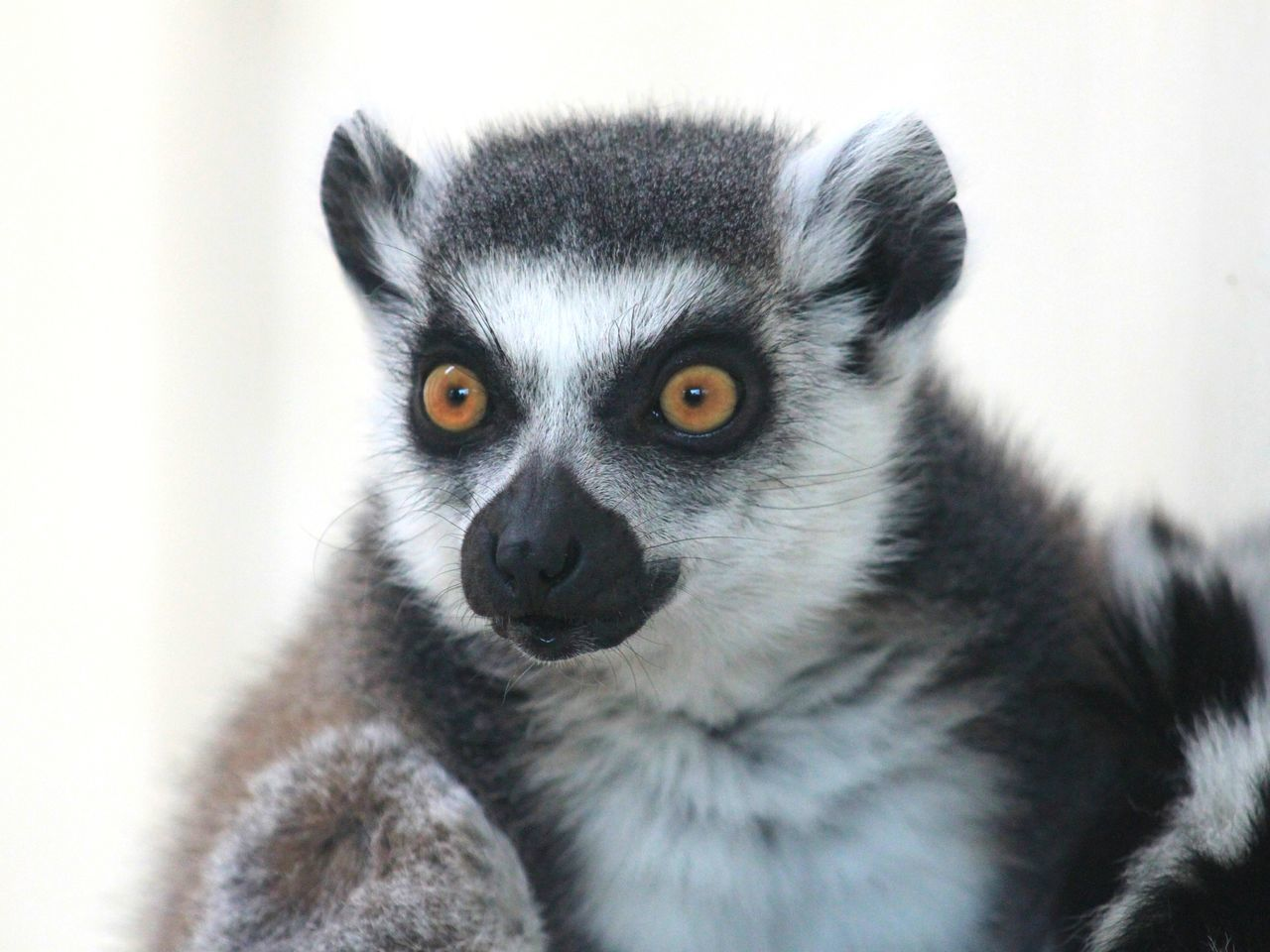 one animal, mammal, lemur, animal themes, portrait, looking at camera, animals in the wild, no people, animal wildlife, close-up, day, nature, outdoors