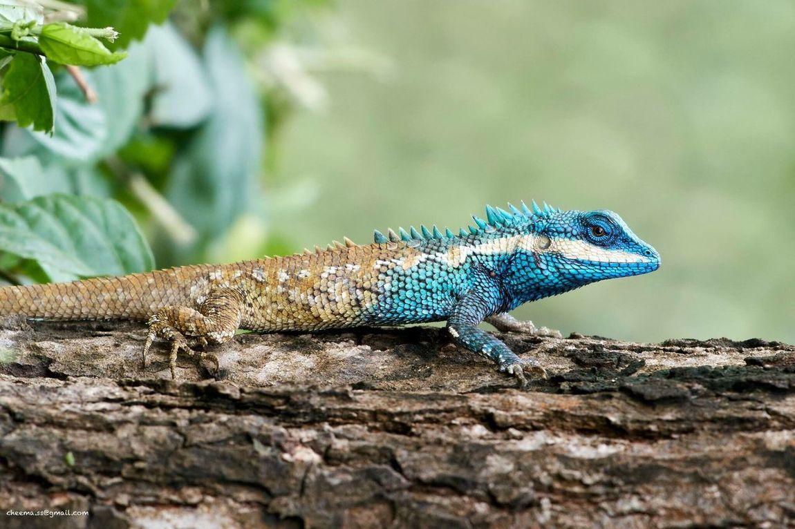 Blue Lizard Exotic Lizard Animal Wildlife One Animal Nature Close-up
