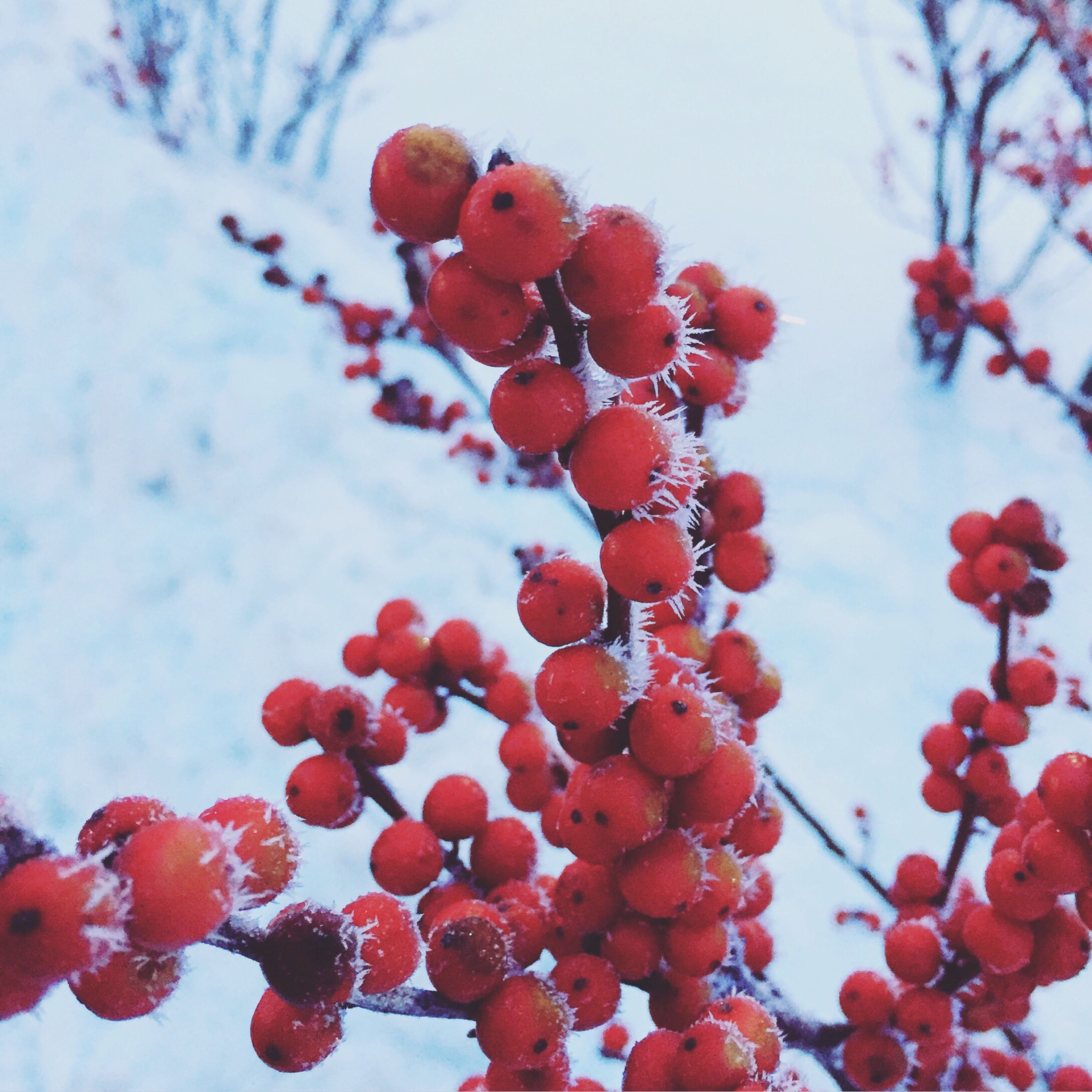 red, fruit, branch, freshness, growth, low angle view, tree, nature, berry, berry fruit, fragility, close-up, season, focus on foreground, beauty in nature, stem, twig, flower, cherry tree, cherry