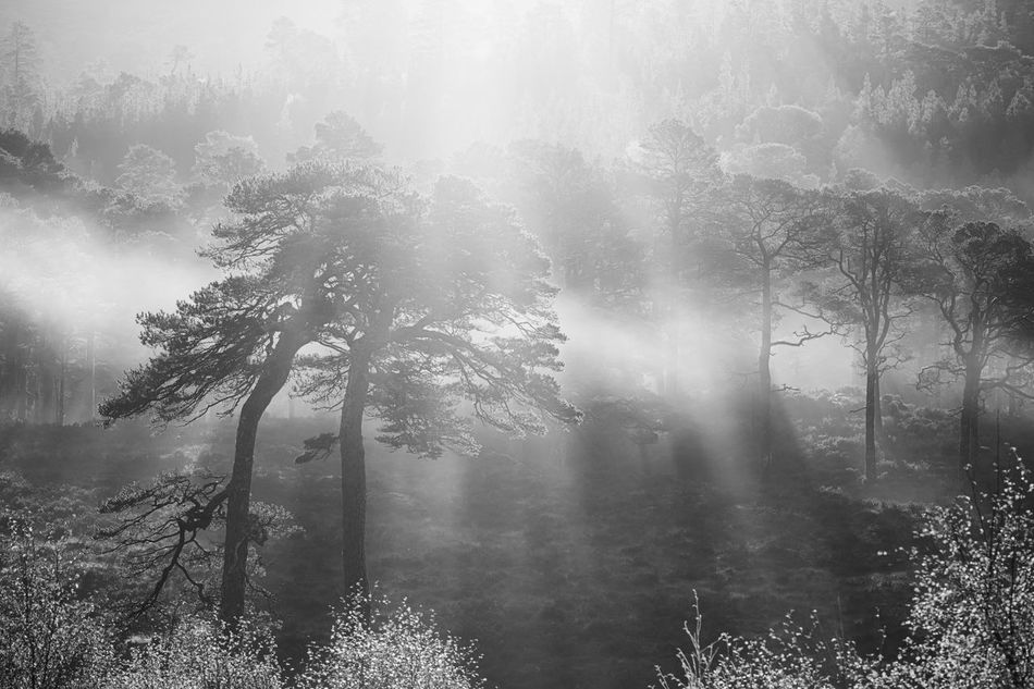 Perfect moment: my very favourite trees in the Caledonian Forest reserve of Glen Affric, surounded by mist, illuminated by bright Autumn morning sun. Dramatic light & shadow but ultimately it's all about peace. Beauty In Nature Black & White Black And White Blackandwhite Fog Forest Highlands Landscape Landscape_photography Landscapes Misty Morning Nature Nature Nature Photography No People Outdoors Peace Pine Wood Scotland Scotland 💕 Tree WoodLand