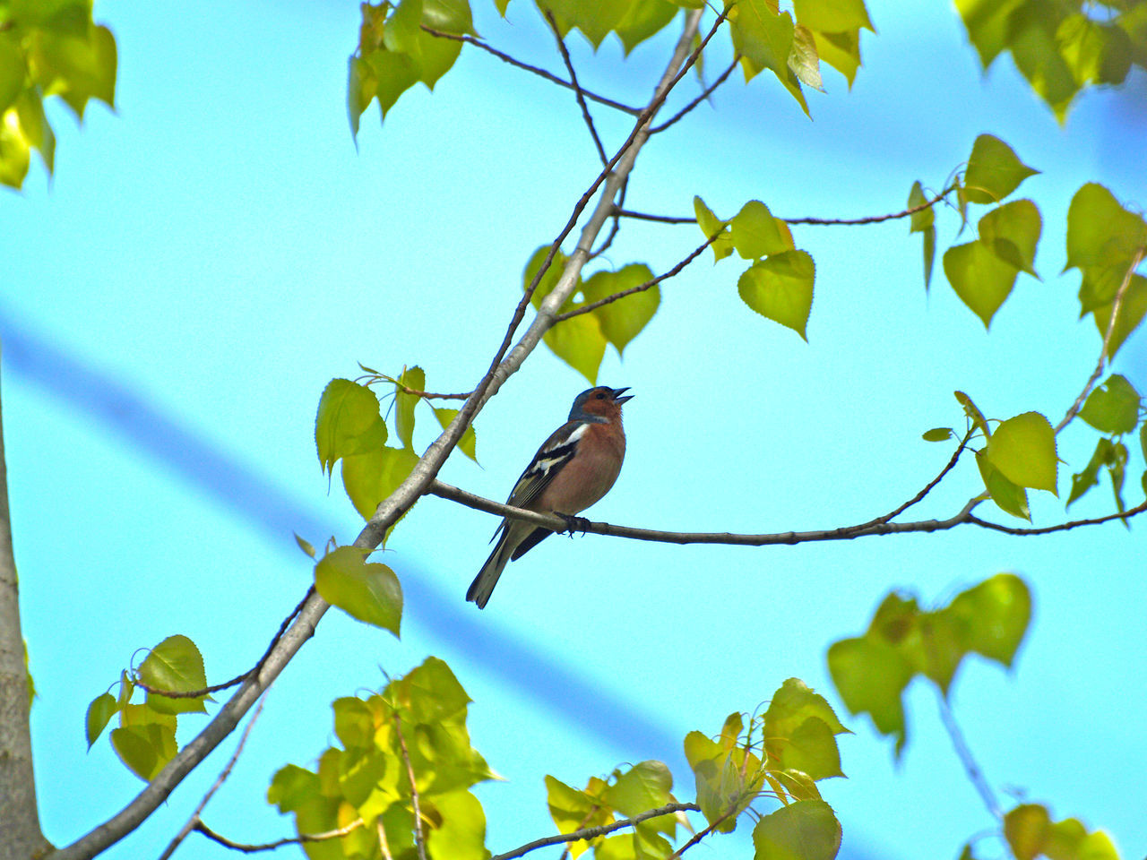 Animal Themes Animal Wildlife Animals In The Wild Beauty In Nature Bird Birds Branch Chaffinch Close-up Day Fringilla Fringilla Coelebs Leaf Low Angle View Nature No People One Animal Outdoors Perching Song Birds Tree Trill Trilling Warbler
