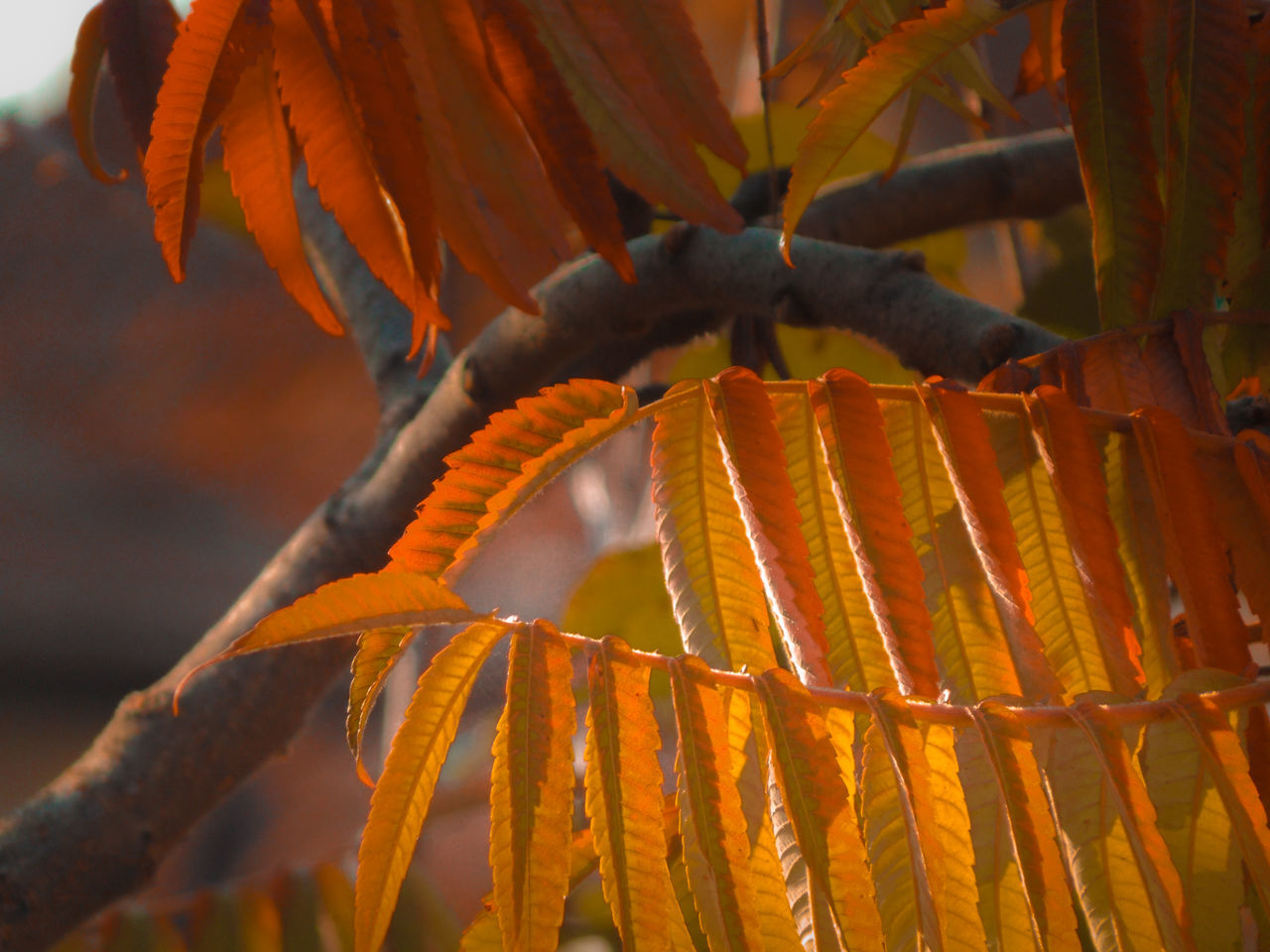 orange color, growth, no people, nature, leaf, outdoors, day, close-up, plant, freshness, beauty in nature, food