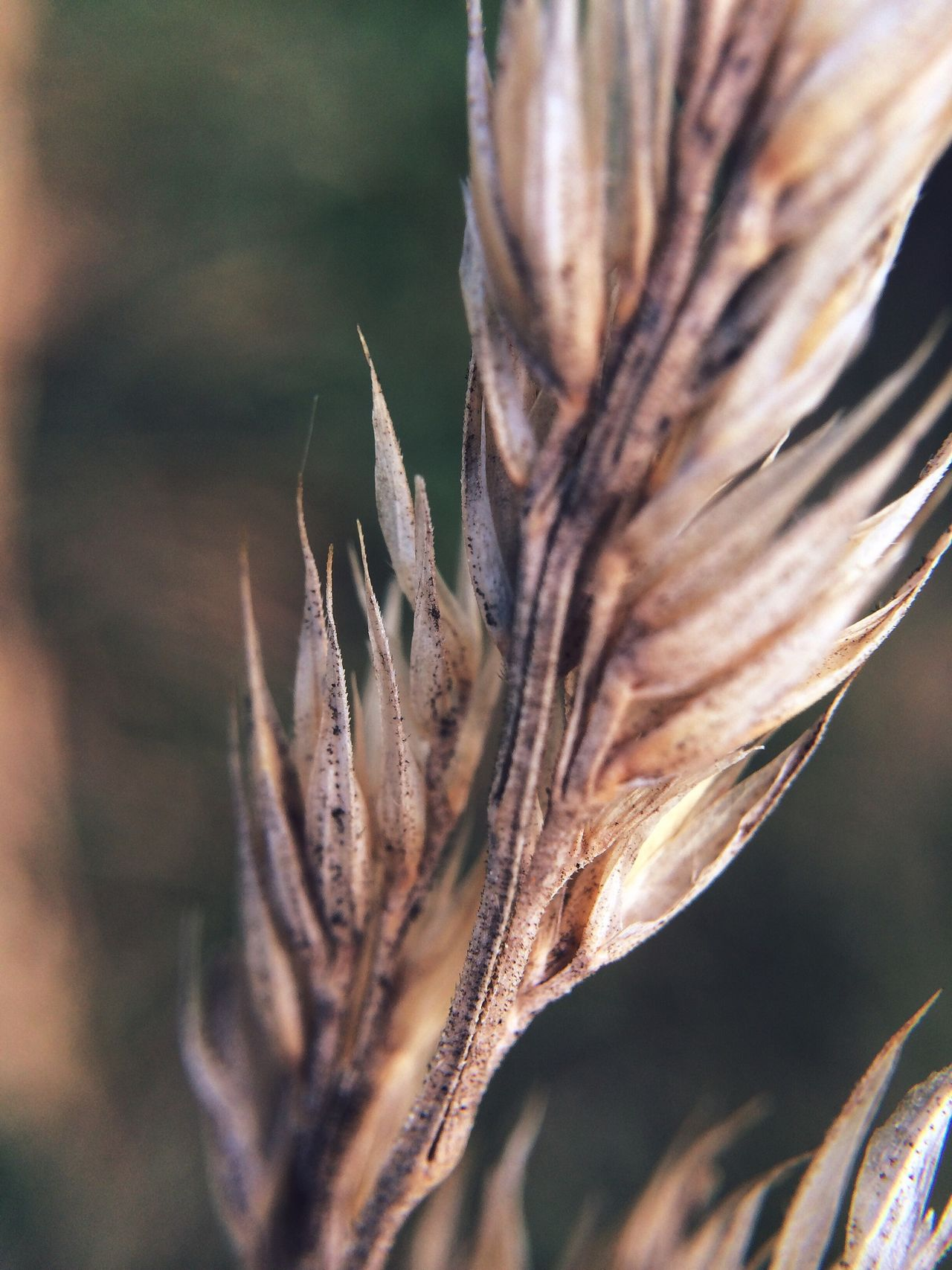 Beautiful stock photos of macro, Agriculture, Cereal Plant, Close-Up, Crop