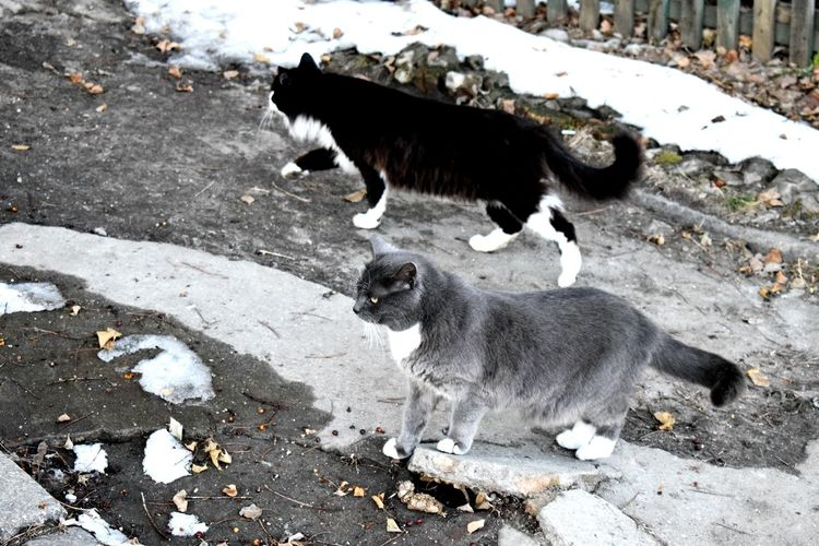 Animal Themes Mammal High Angle View Domestic Animals Pets Outdoors No People Day Cats Of EyeEm Color Palette Beauty In Nature Cold Temperature Winter Nature Find A Cat Walking Around Walking On The Street Two Cats Grey Cat Grey Cold Day Home Animals  Cat Lifestyle Adult Cat Barefoot Cat Friends