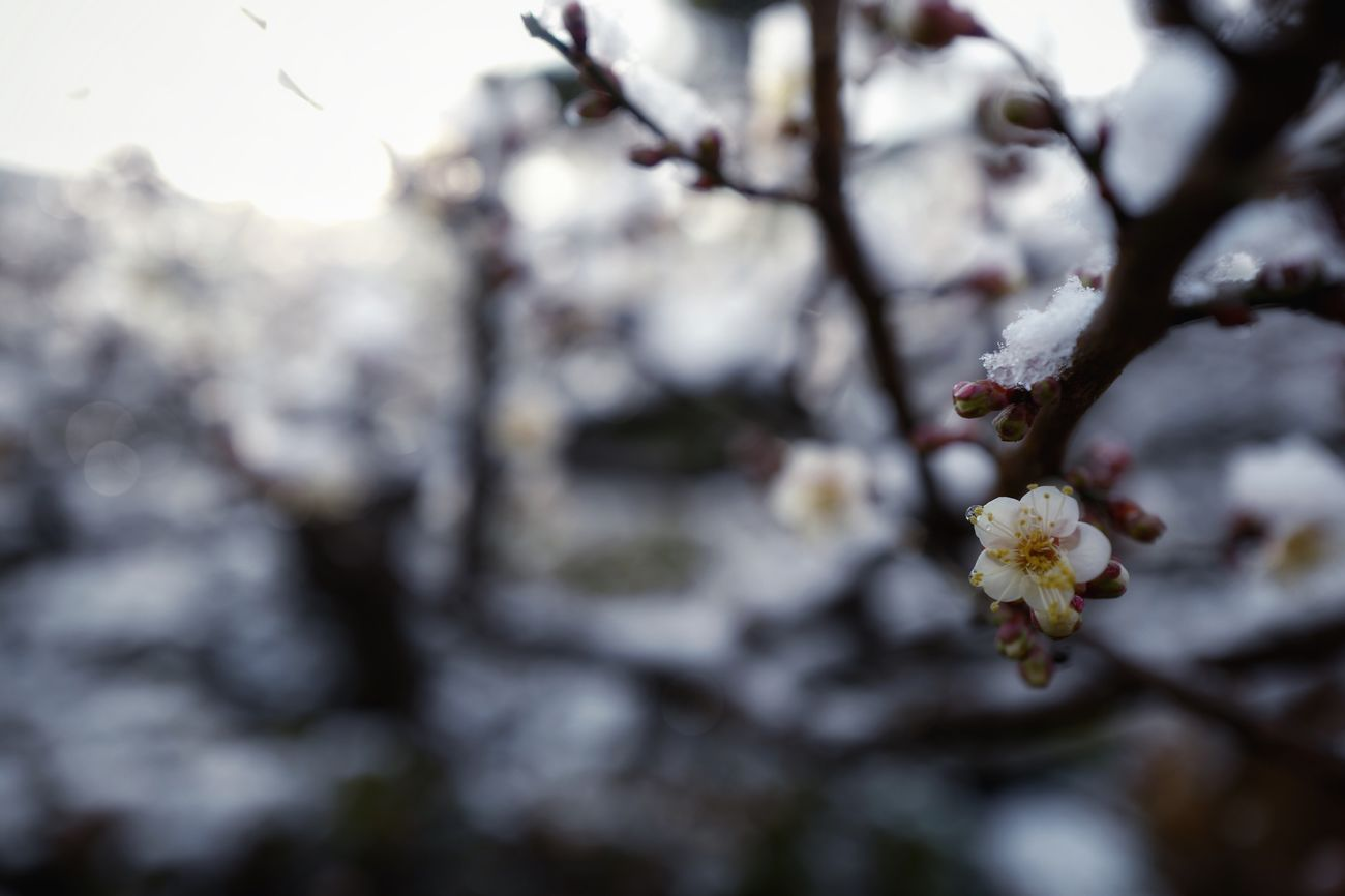 Japanese Plum Blossom 23 January 2017 Cold Winter ❄⛄ Play back photo : Bokeh Photography In My Garden Flowers, Nature And Beauty LEICA V-LUX1 35mm Snapseed Editing  plus 琳派 Rimpa Style Wabi-sabi Nagasaki-shi Japan Photography