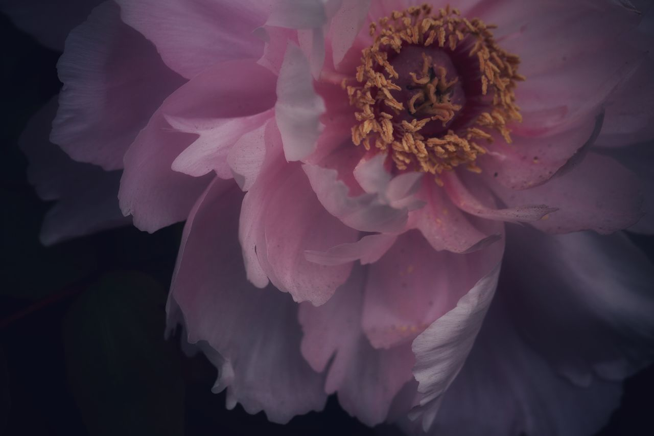 flower, petal, beauty in nature, close-up, fragility, flower head, no people, pink color, nature, outdoors, day, freshness