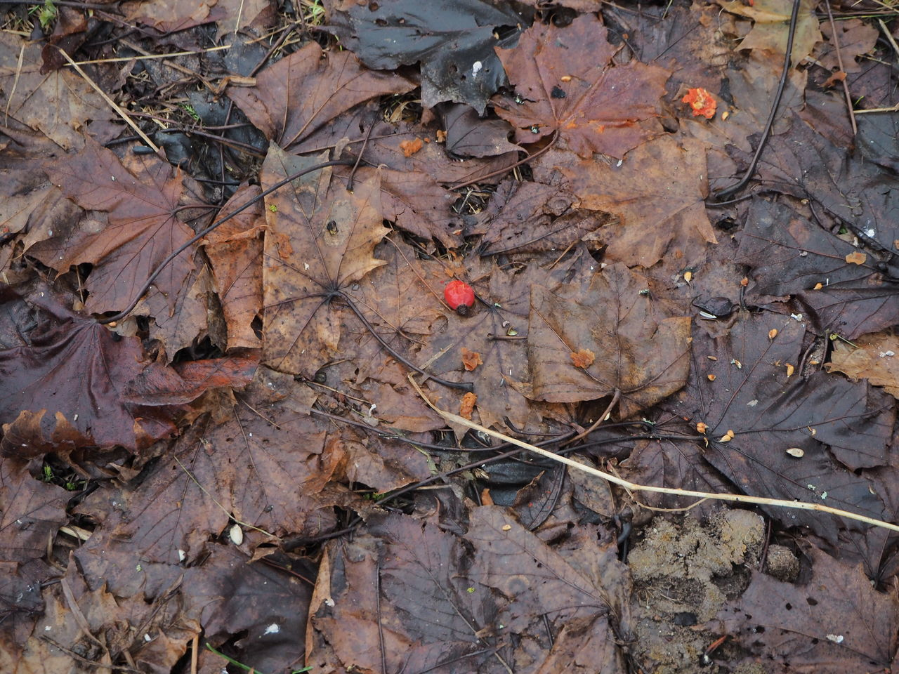 last rose hips on the ground Backgrounds Change Close-up Leaf Maple Leaf Nature No People Outdoors Rose Hips Winter Trees
