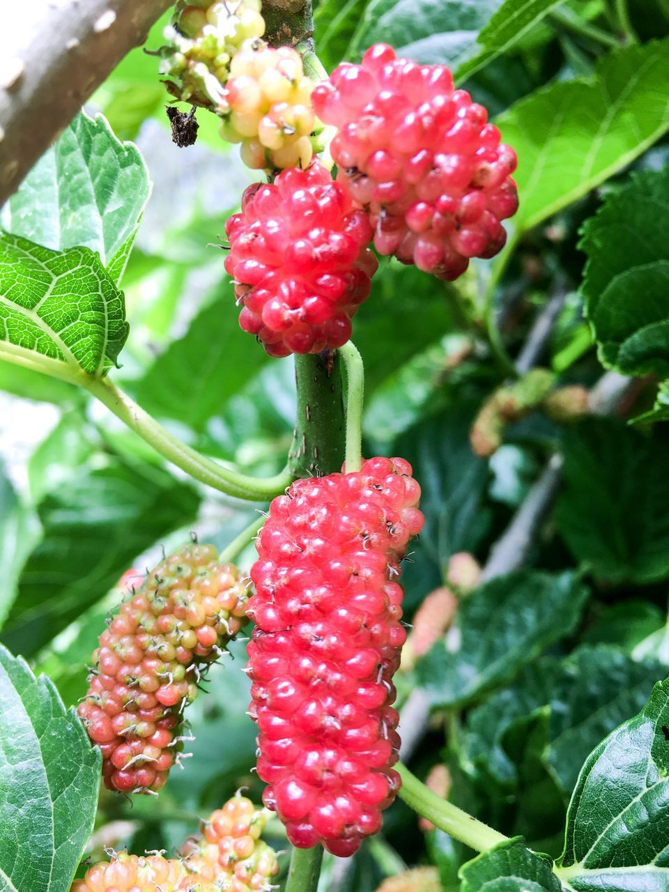growth, fruit, red, food and drink, growing, berry fruit, nature, freshness, leaf, plant, no people, beauty in nature, outdoors, day, focus on foreground, green color, close-up, tree, food, healthy eating