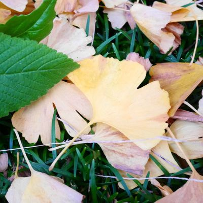 いちょう いちょう並木 明治神宮外苑 紅葉