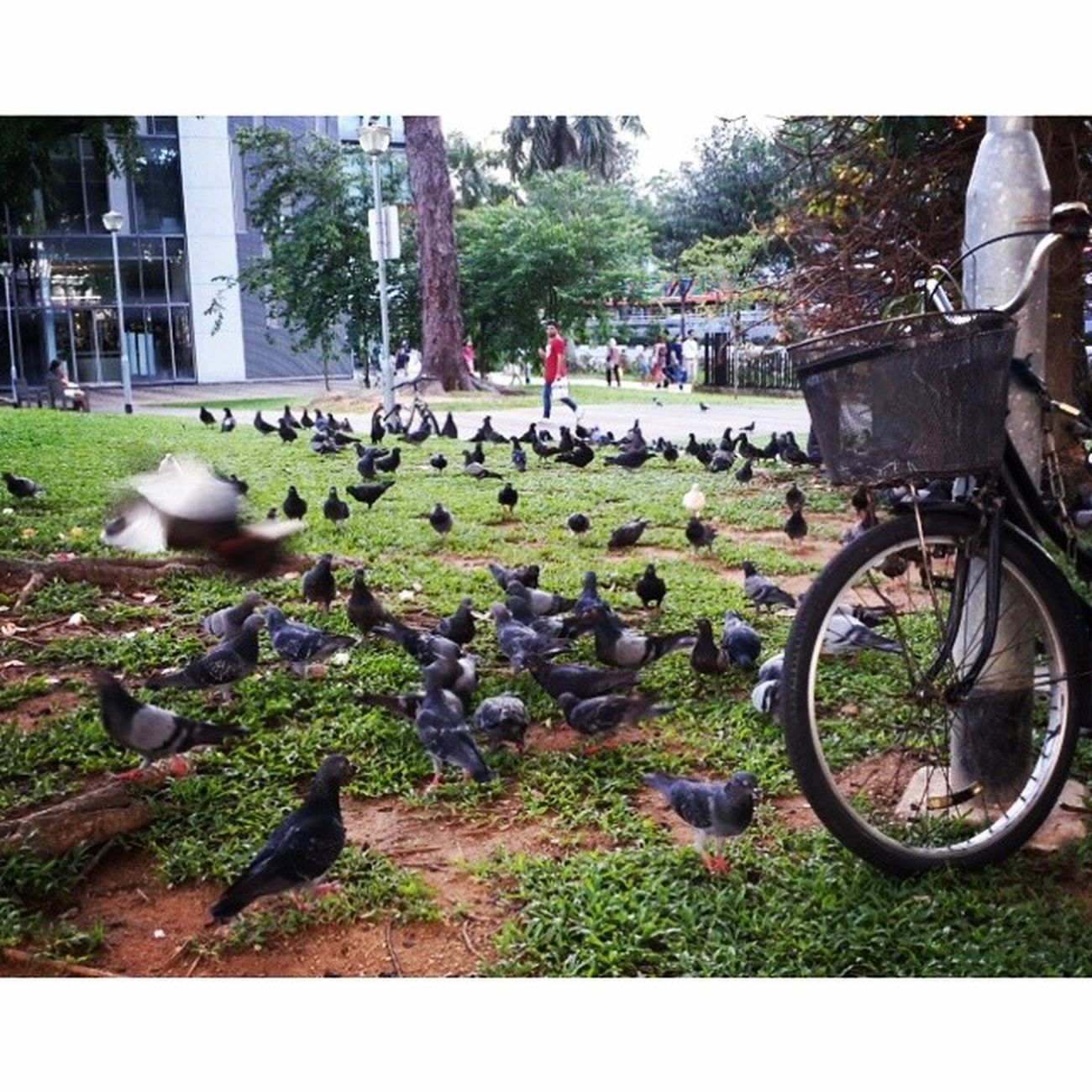 Birds at Outram Park Singapore 20140531 Follow Like Album Adventure Traveller Traveling Trip World WorldWide photography photooftheday
