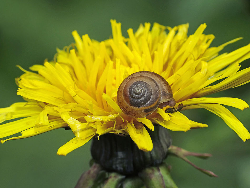 Helix sp. - Serchio River Animal Themes Animals In The Wild Beauty In Nature Close-up Flower Flower Head Fragility Freshness Gasteropoda Helicidae Helicoidea Helix Mollusca Nature Outdoors Petal Snail On A Flower Yellow