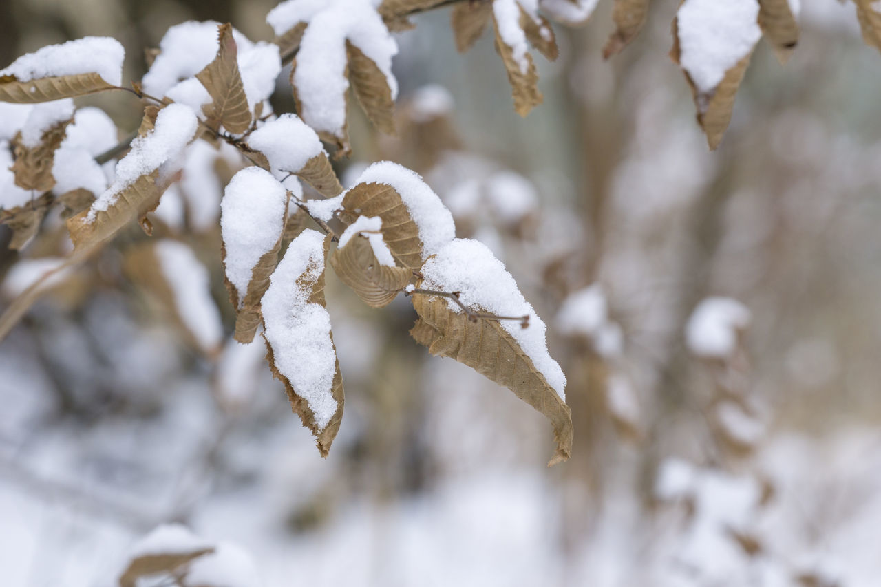 Leaves in Winter Background Branch Closeup Cold EyeEm Nature Lover Frozen Ice Iced Leaf Leaves Nature Outdoor Snow Snowing White Winter