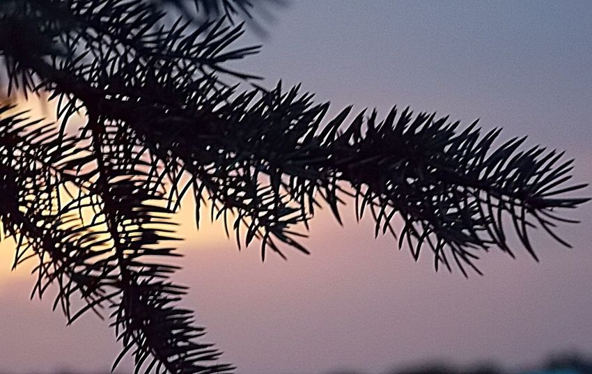 Silhouette Sunset Beauty In Nature Beauty In Nature Focus On Foreground NikonL810 Nature_collection Close-up Eye Em Nature Lover The Wisdom Is In The Trees Not The Glass Windows