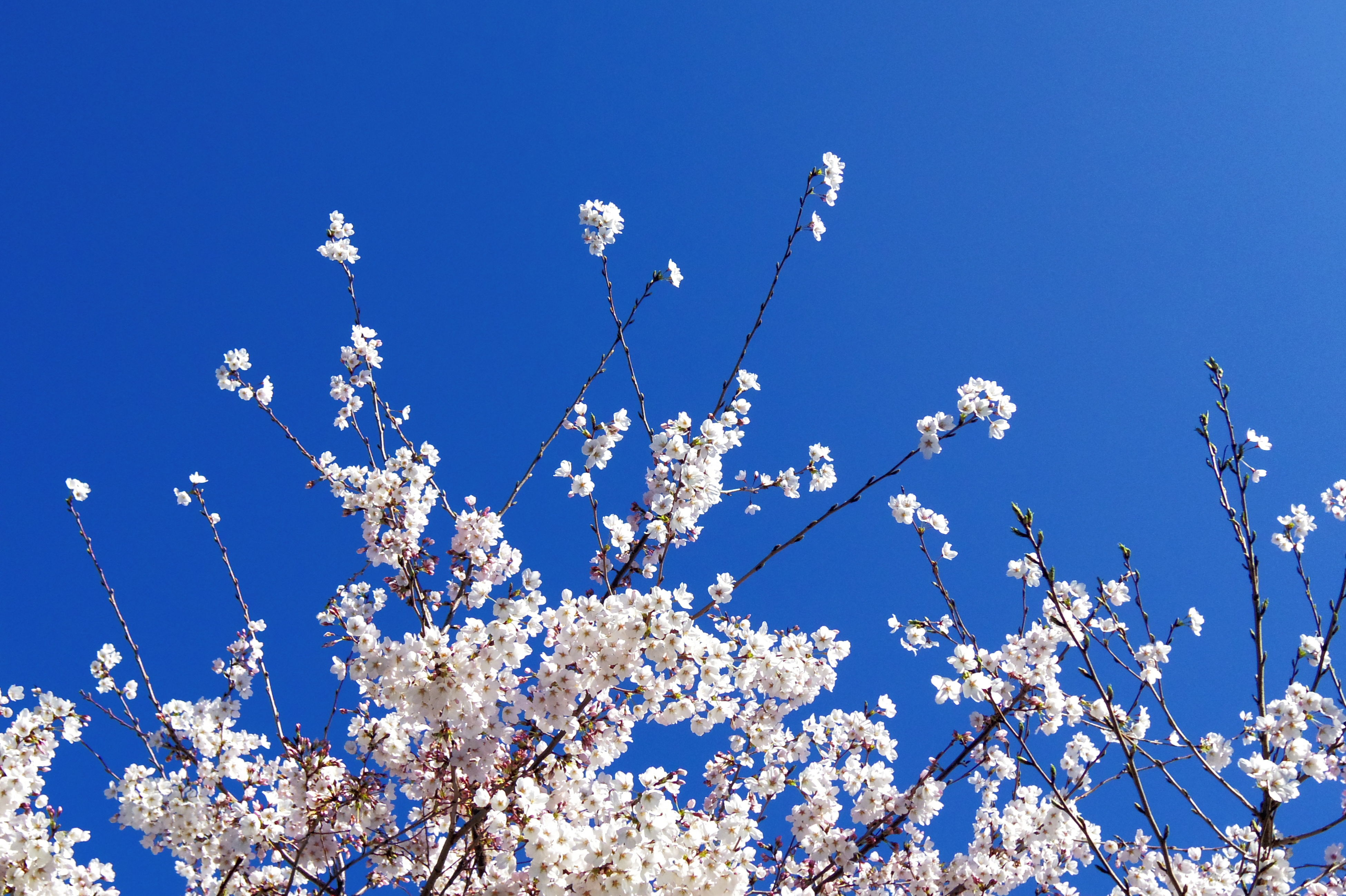 low angle view, flower, clear sky, blue, growth, freshness, tree, branch, beauty in nature, nature, fragility, blossom, blooming, copy space, in bloom, high section, day, sky, outdoors, springtime