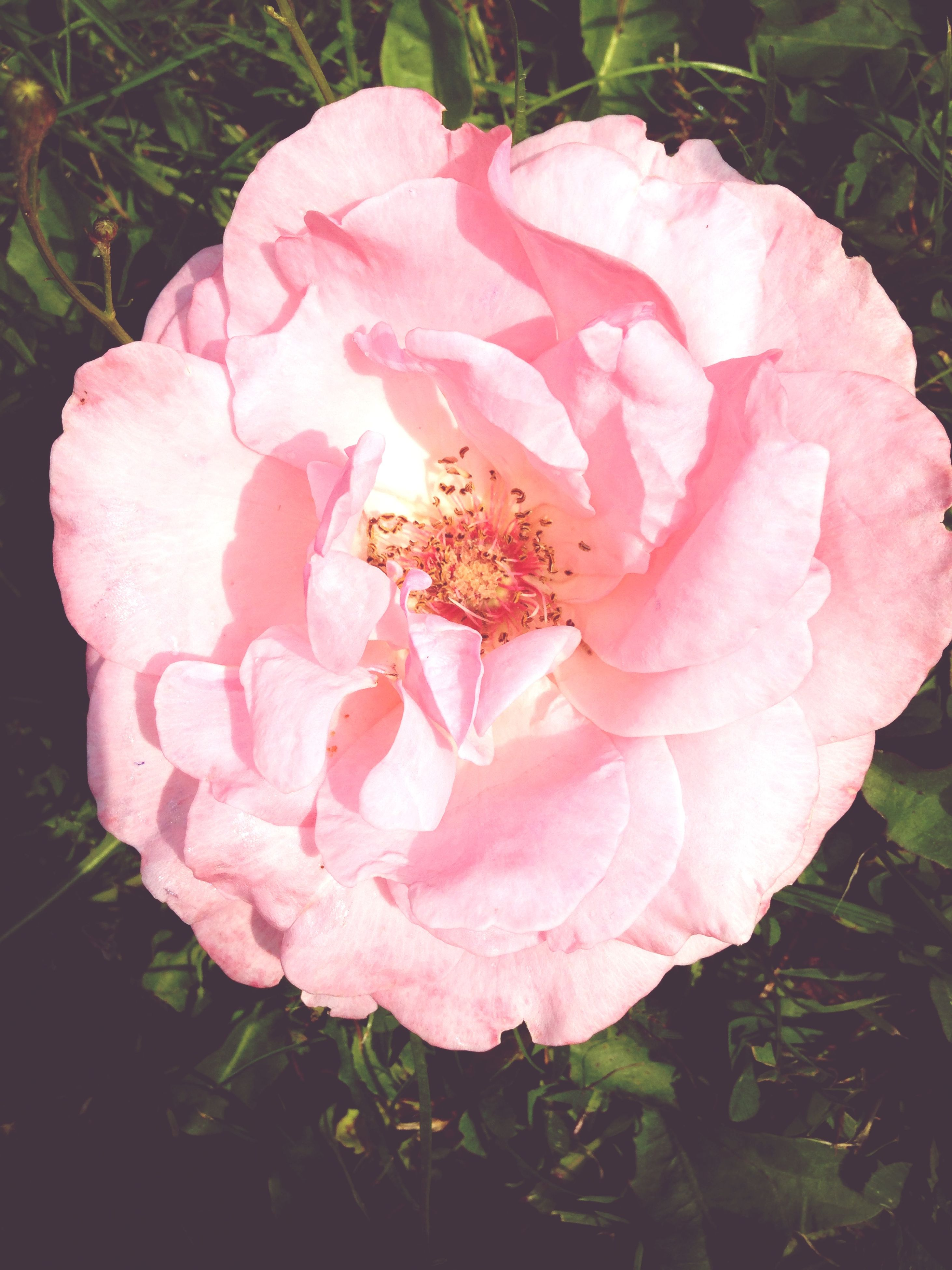 flower, petal, freshness, fragility, flower head, growth, beauty in nature, pink color, close-up, blooming, nature, plant, single flower, rose - flower, in bloom, focus on foreground, park - man made space, pink, high angle view, day