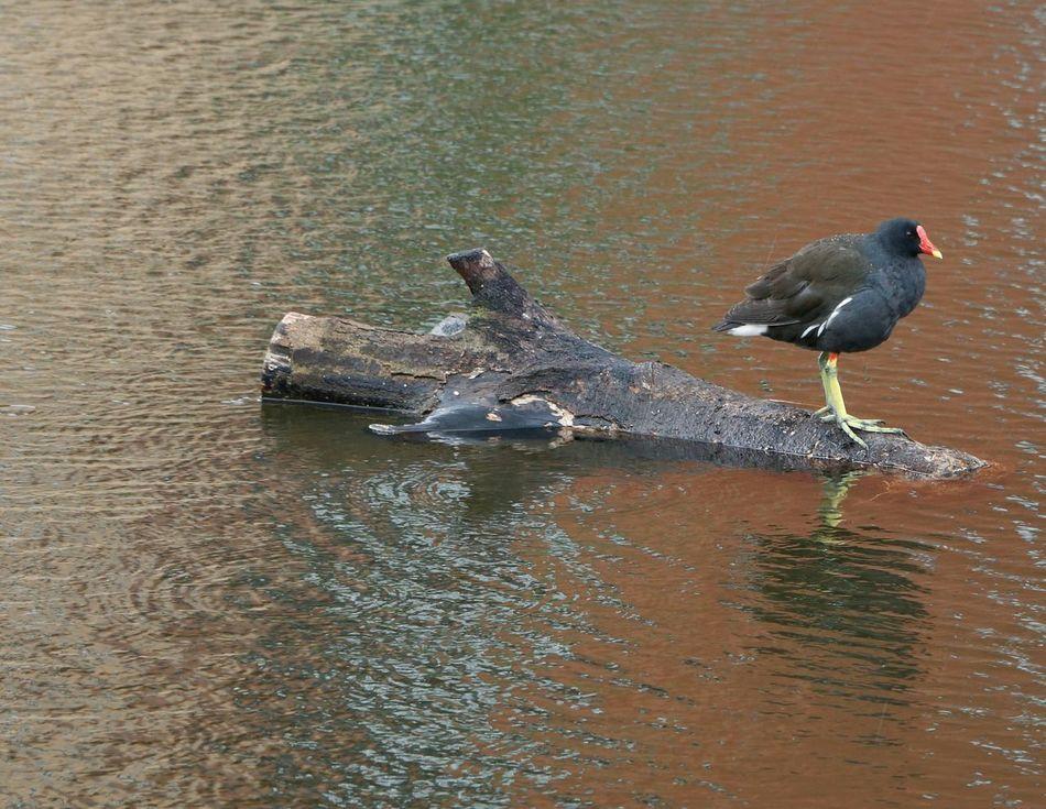 Moorhen Float On Leeds-liverpool Canal