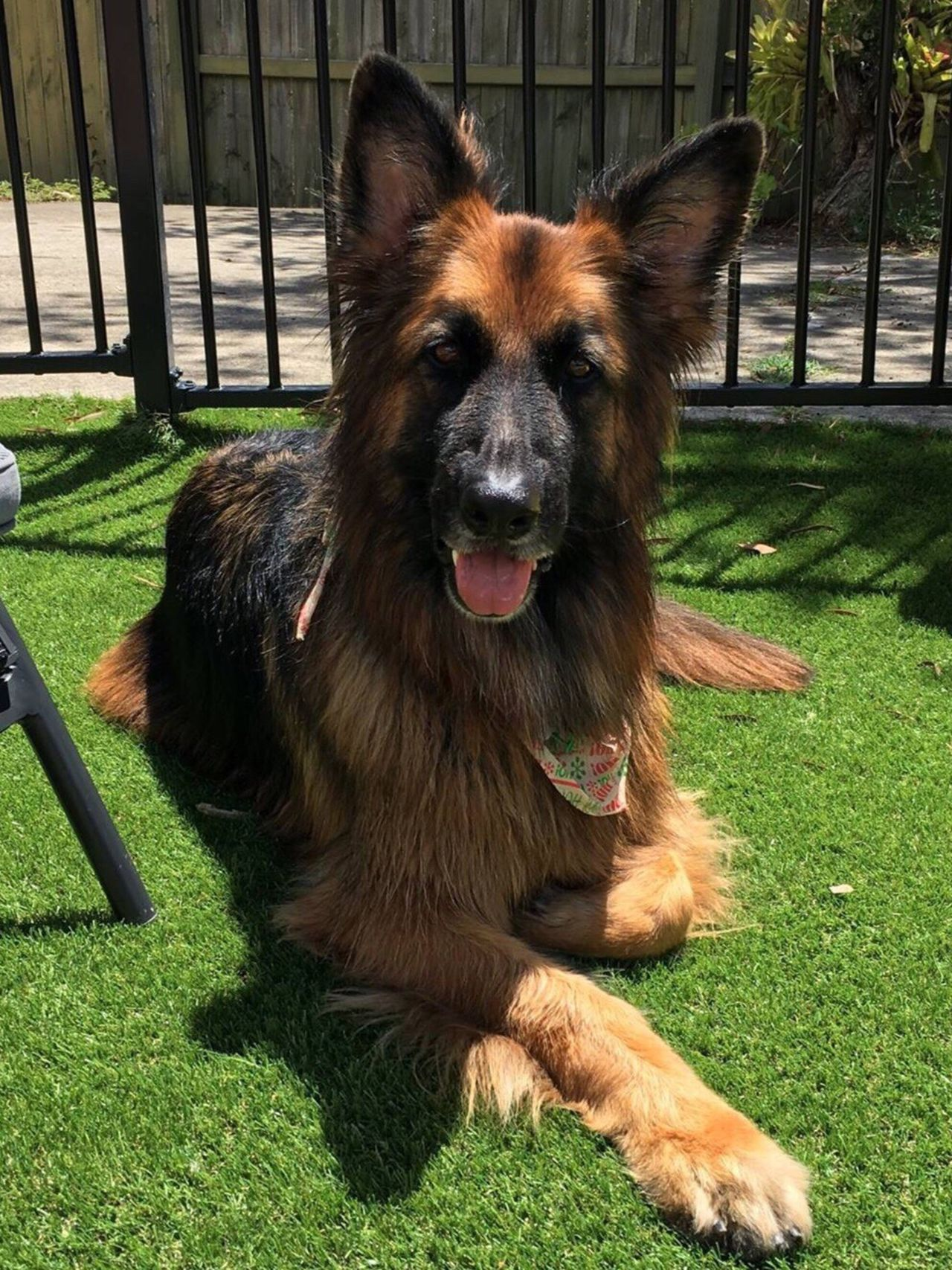 Domestic Animals Mammal Pets Animal Themes Grass One Animal Dog Looking At Camera Brown Portrait German Shepherd Green Color No People Outdoors Close-up Day