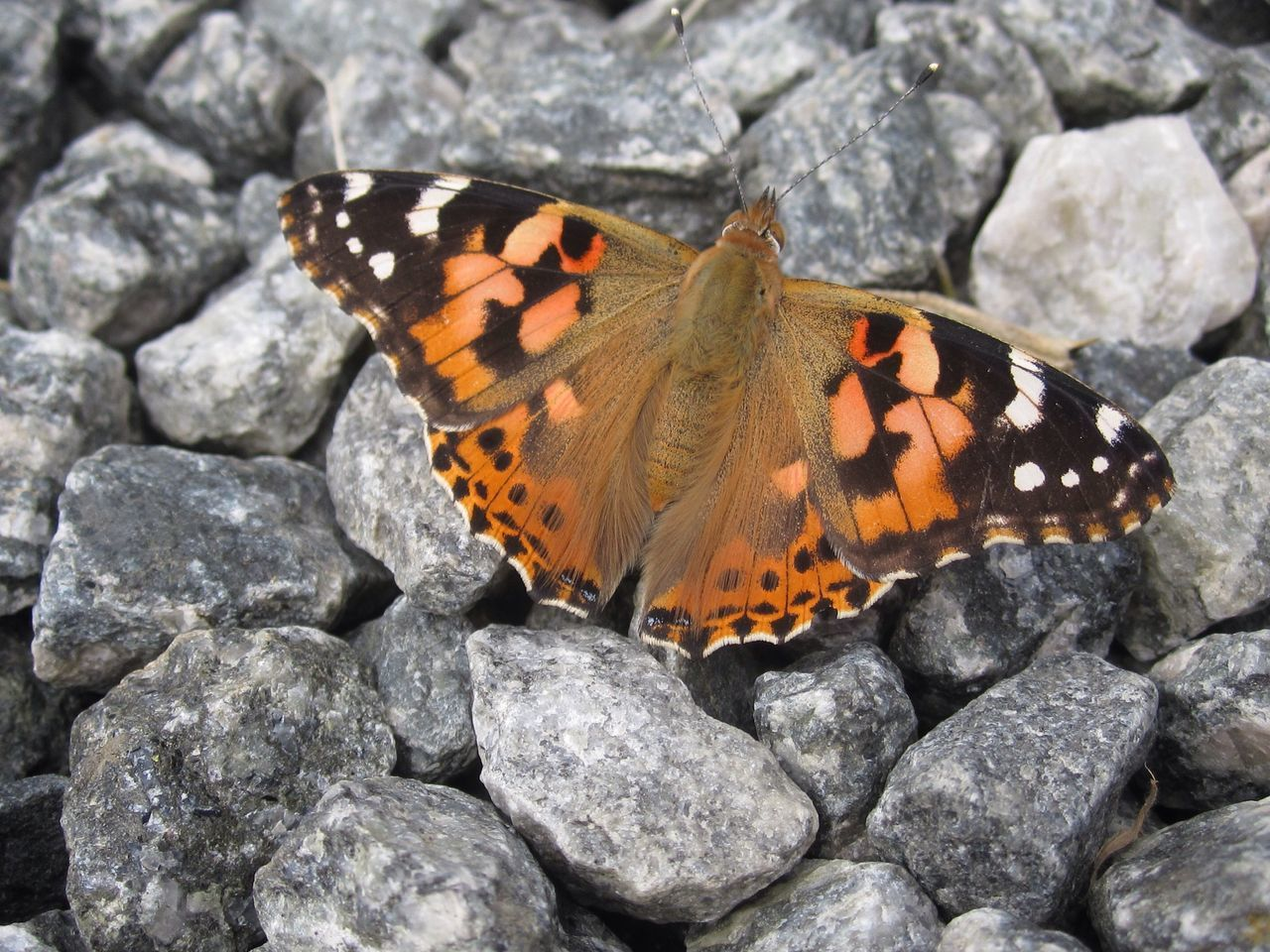Butterfly Butterflies Butterfly Collection Butterfly ❤ Painted Lady Painted Lady Butterfly Vanessa cardui Nature's Diversities Flowers, Nature And Beauty Natures Diversities