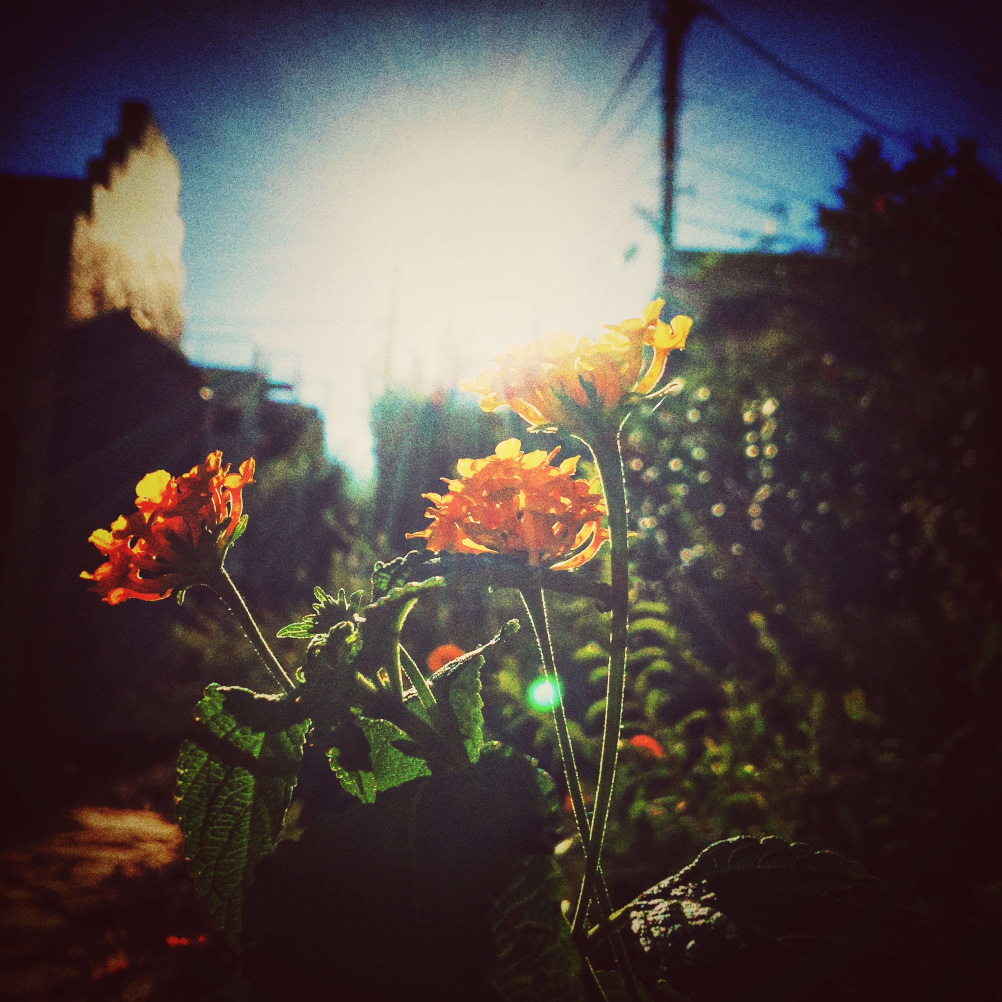 flower, growth, plant, fragility, freshness, nature, beauty in nature, stem, leaf, close-up, yellow, sunlight, focus on foreground, orange color, petal, blooming, outdoors, no people, sunset, flower head