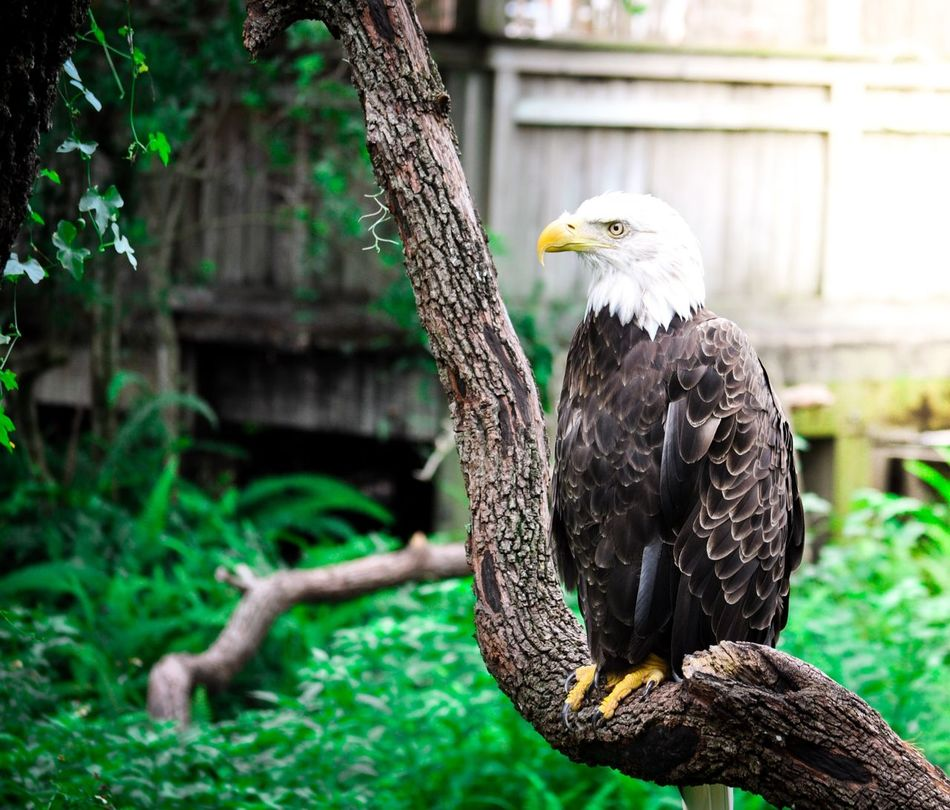 Beautiful stock photos of bald eagle, Animal Themes, Animals In The Wild, Bird Of Pray, Branch