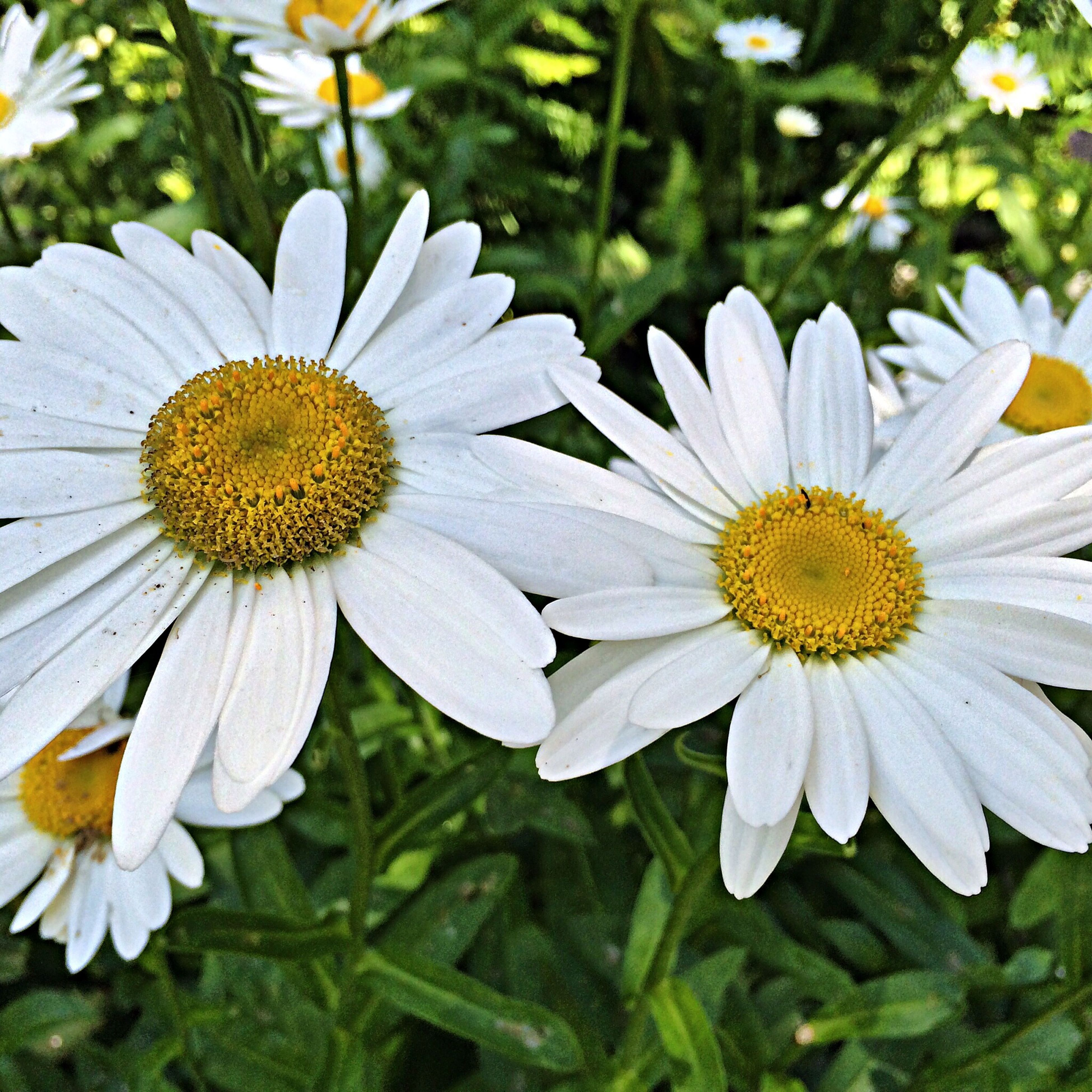 flower, freshness, petal, fragility, flower head, white color, growth, pollen, daisy, beauty in nature, blooming, nature, close-up, focus on foreground, plant, yellow, high angle view, outdoors, day, no people