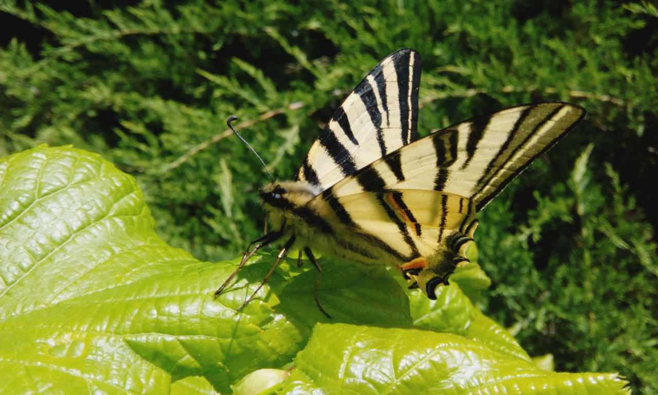 animals in the wild, one animal, animal themes, insect, nature, butterfly - insect, green color, leaf, plant, no people, butterfly, close-up, beauty in nature, animal wildlife, day, growth, outdoors, fragility, animal markings, full length, spread wings, freshness, flower, pollination
