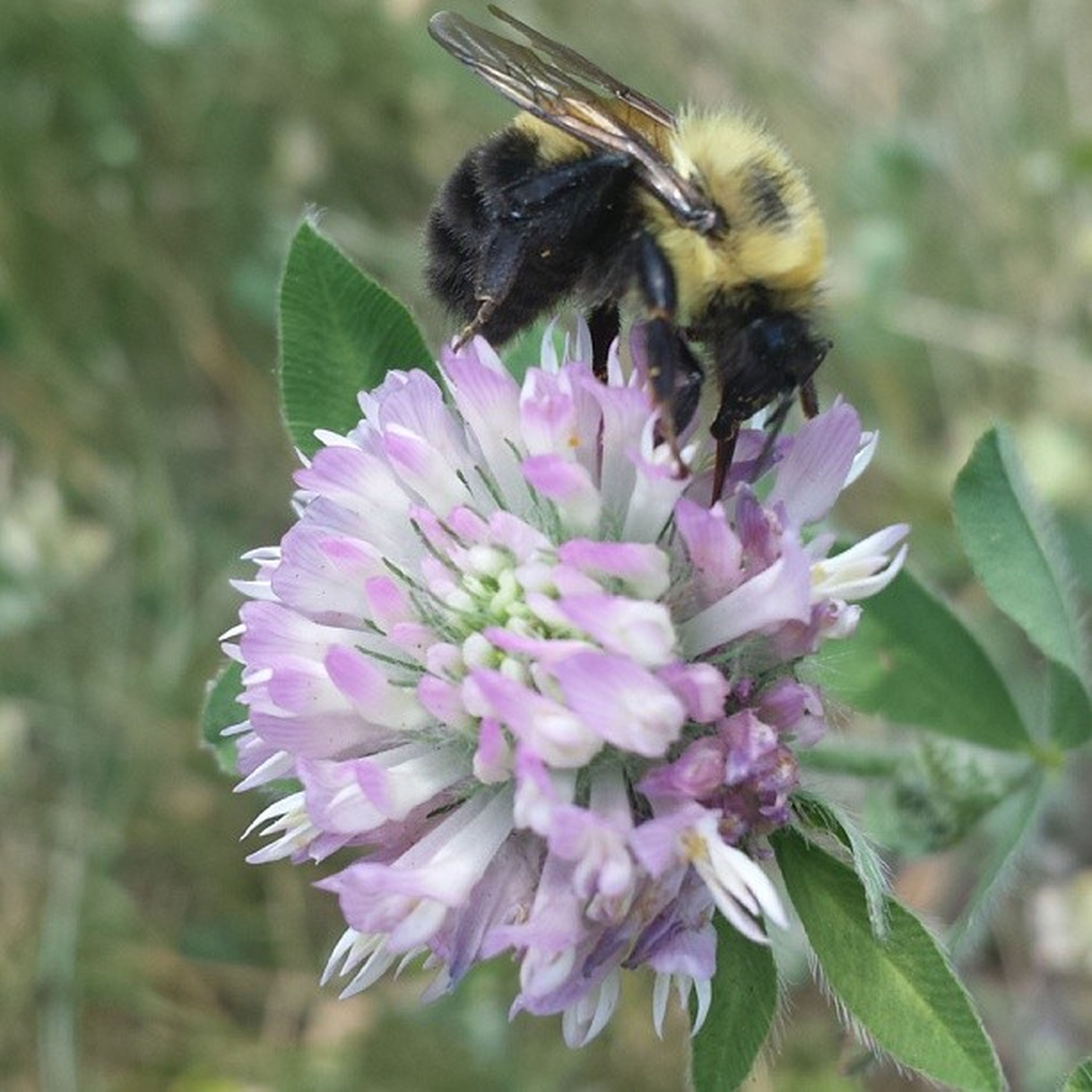 flower, insect, one animal, animal themes, animals in the wild, wildlife, freshness, pollination, petal, fragility, bee, close-up, flower head, focus on foreground, beauty in nature, purple, growth, pink color, nature, symbiotic relationship